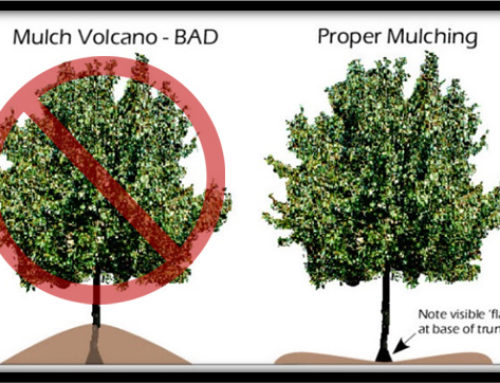 MULCH VOLCANOES KILL TREESLet's end this deadly decorative fad that has swept the landscaping industry.